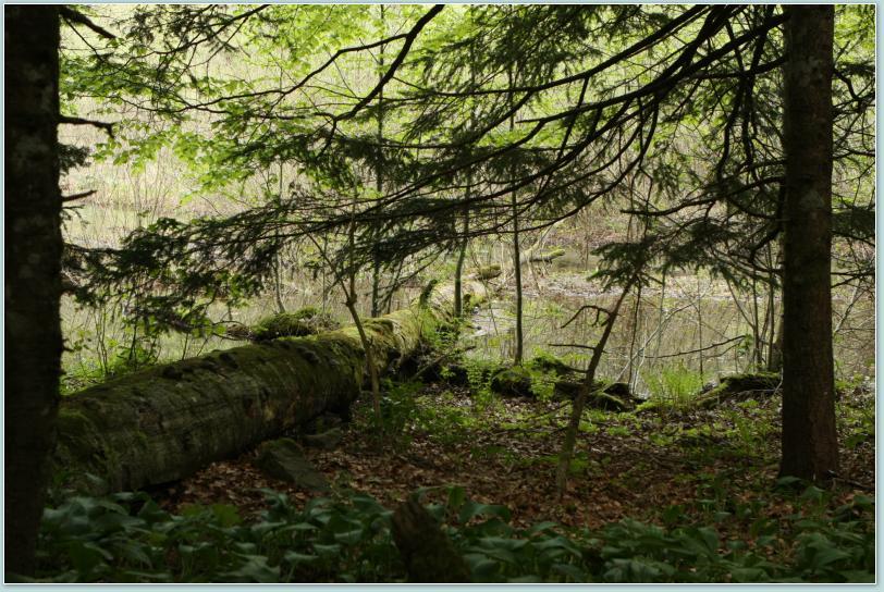 Park Narodowy Biogradska Góra - stary las.